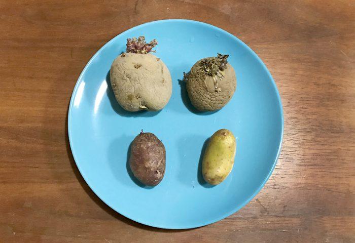 ジャガイモ 種芋