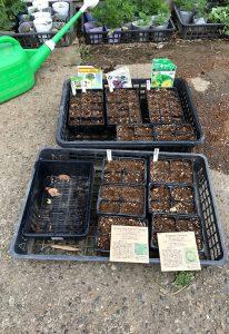 種蒔き レタス コールラビ ブロッコリー キャベツ