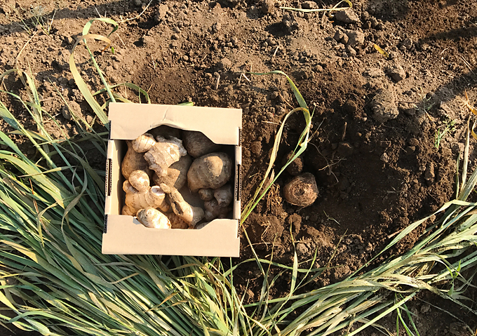 里芋の植付け