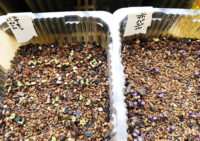 バジルの種蒔き シナモンバジル 赤バジル