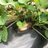 【サツマイモ/安納芋】スーパーで買った種芋から芽が出た!蔓が伸びた!