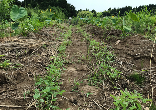 土壌改良緑肥セスバニア