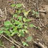 【緑肥/水はけ改善】土壌改良の為に播いたセスバニアが芽生えてきました