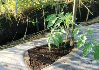 【畑/トマト】『寝かせ植え』で丈夫に育ち収穫量アップを試みます!