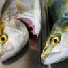 【釣り/鹿島】8月・アジ、サバの活性良し。そしてついにあの青物が!