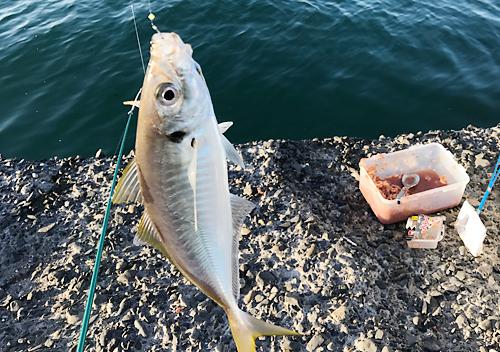 館山9月堤防釣りアジ