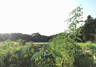 【緑肥/水はけ改善】セスバニアの成長がもの凄い!