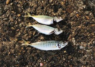 【釣り/鹿島】10月・若潮って釣れるんですか?そして鹿島港に夜釣りへ