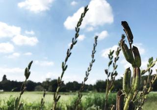 【畑の様子】10月・秋の畑・ゴマがそろそろ採れそうです