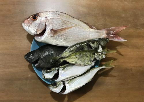 館山釣りマダイとアジとアイゴとメジナ