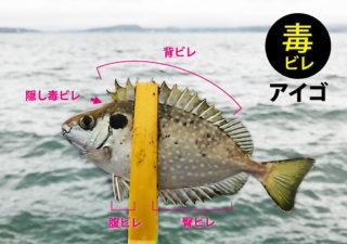【釣り/毒魚】痛い!アイゴに刺された!釣りの際に気をつけたい魚