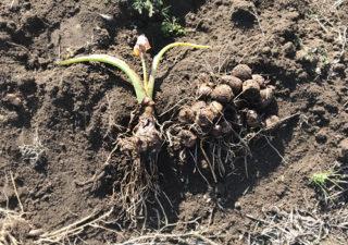 【里芋】里芋の簡単な収穫方法を発見!