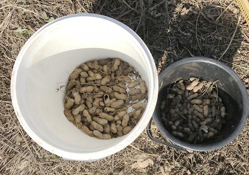 落花生の収穫おおまさりと千葉半立ち