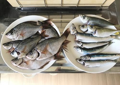 鴨川の港でアジ釣り