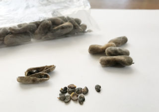 【緑肥/水はけ改善】乾燥したクロタラリアの種を採ってみた