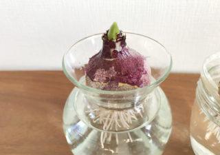 【ヒヤシンス/水耕栽培】1月・さっそく根が出てきました!