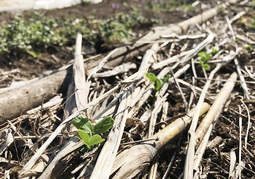 えんどう豆自然栽培