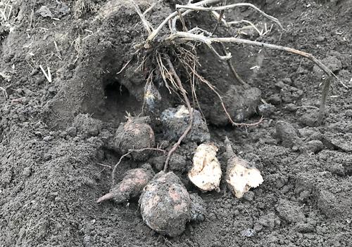 サツマイモの貯蔵に失敗して腐った