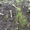 【緑肥/イタリアンライグラス】1週間前に蒔いた緑肥の種が続々発芽してきました!