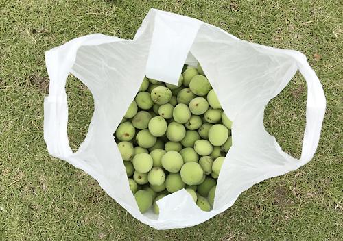 自家採集した裏山の梅を使って梅シロップの作り方
