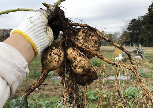 スーパーで購入したサツマイモ・マロンゴールドの収穫