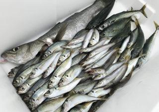 【釣り/干物ネット】沢山釣れたアジ・カマスを天日干し。新調した「ひもの干し網」が大活躍!