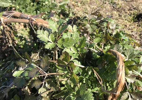 真冬の畑の様子1月自然農法パクチー