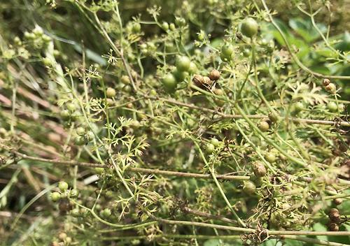 コリアンダー(パクチー)の採種 家庭菜園