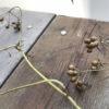 【栽培/パクチー】コリアンダーの葉が枯れたら種の収穫です。採種時期と保存方法。