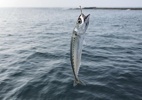 鴨川興津港でアジ釣りカゴ仕掛けにイサキと小メジナ小サバ