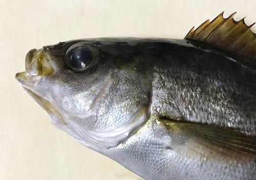 鴨川興津港でアジ釣りカゴ仕掛けにイサキとジグにムツ