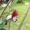 【栽培/フェイジョア】鴨川で見つけた魅惑の果実を畑に植えてみました。