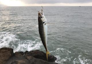 【釣り/勝浦・鴨川】7月・磯で堤防でチヌにシマアジ。釣り物が多様な外房は面白い!