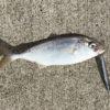 【釣り/鹿島港 魚釣園】7月・青物襲来で夏到来!ショゴ・ワカシがワラワラ。