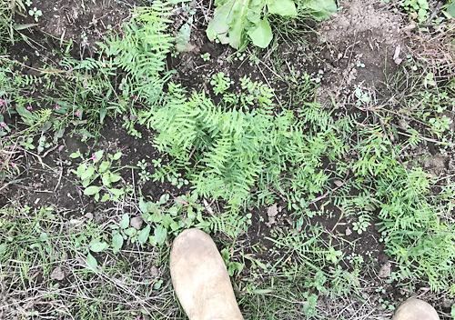 緑肥ヘアリーベッチの栽培・成長・採種