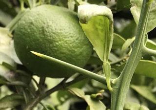 【栽培/カボス】トゲが痛いのです…。柑橘系の収穫が怖い…あひぃ。