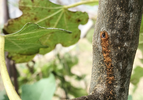 無花果(イチジク)の害虫キボシカミキリ