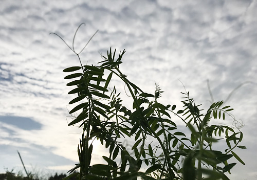 自家採種したヘアリーベッチで雑草抑制