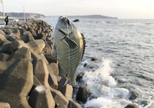堤防釣り_千葉外房勝浦_釣果アジベラ