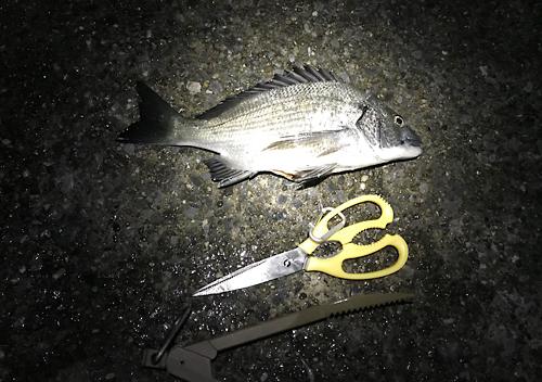 外房_勝浦・鴨川堤防テトラでアジのカゴ釣りにカマスとクロダイも混ざる