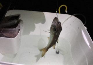 【釣り/勝浦・鴨川】11月・強風大雨の中、クロムツが釣れるもアジはぱったり。