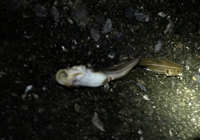 勝浦鴨川でアジ釣り_アジの泳がせに大ヒラメの釣果も