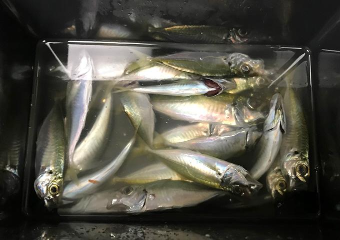 勝浦鴨川3月の釣果:アジサビキ釣り調理