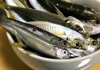 【釣り/勝浦・鴨川】アミ姫で大漁。サビキ釣りでアジにウルメにトウゴロウイワシ。