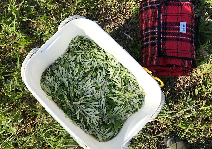 春ヨモギの採取とヨモギ餅の作り方