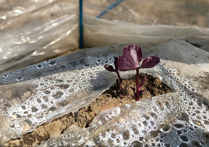 簡易温室で安納芋の芽出し/蔓を自分で伸して植付け