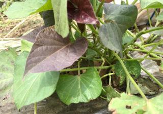 【さつまいも/安納芋】植付け用に簡易温室で種芋を芽出し。
