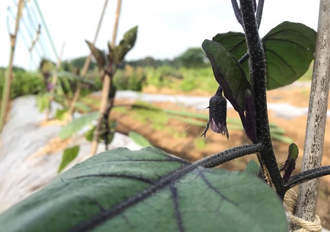 ボカシ肥料/天恵緑汁を散布して病害虫から守る