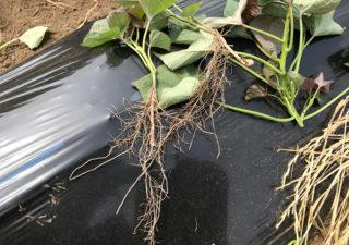 【さつまいも/安納芋】6月・伸びた蔓をカットして植付けします。