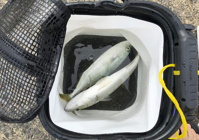 ダイワ網付き水汲みバケツ/シーバス、ワカシ(九十九里浜で釣り)